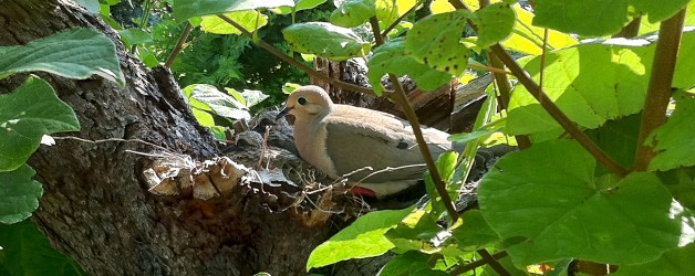 A Tree and Dove